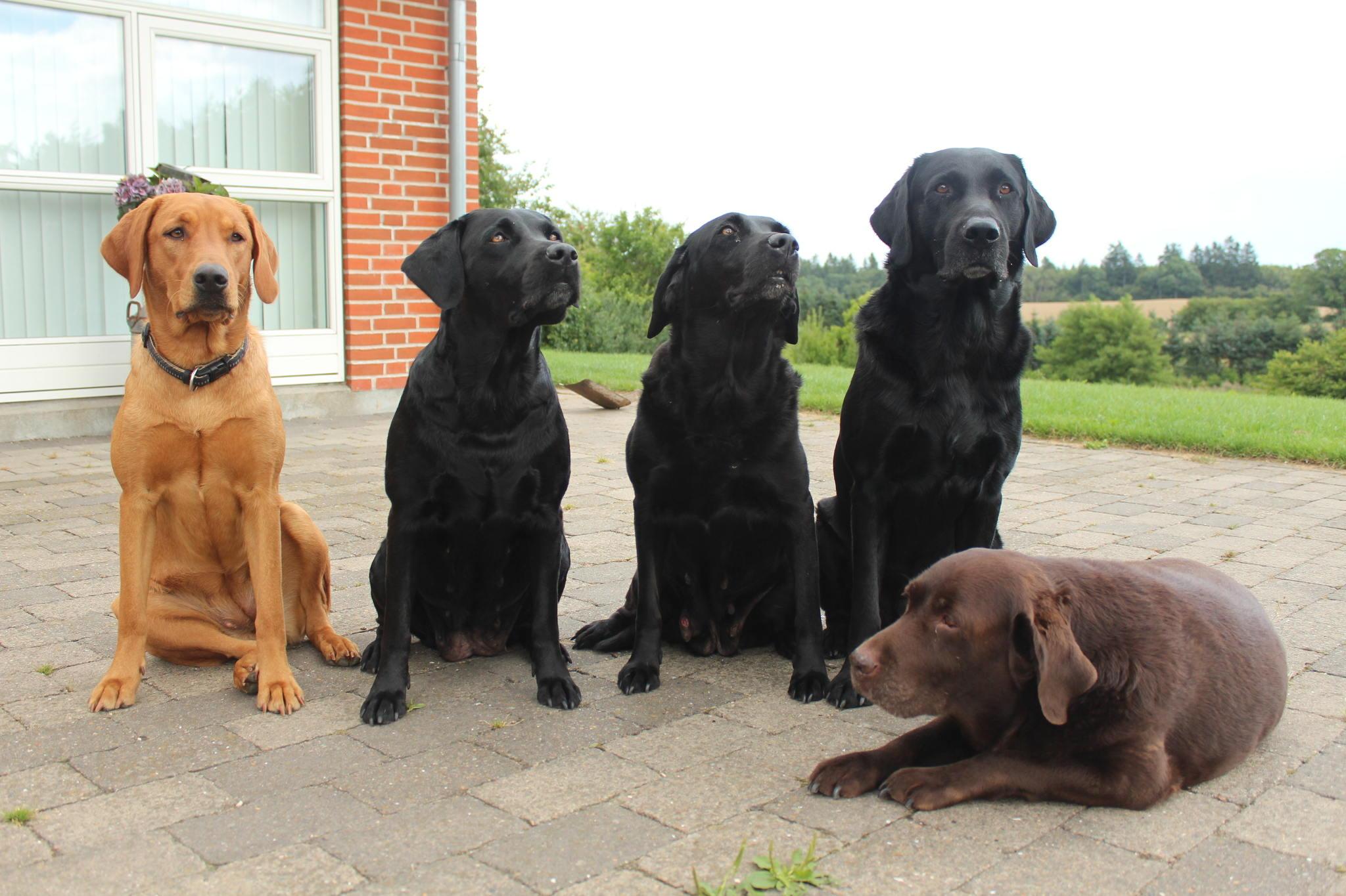 Fra venstre Team Jægerlunden Malou, Rønnesholms Molly, Lumby's Tessa, Team Jægerlunden Xander og Fallow Forest Coco.
